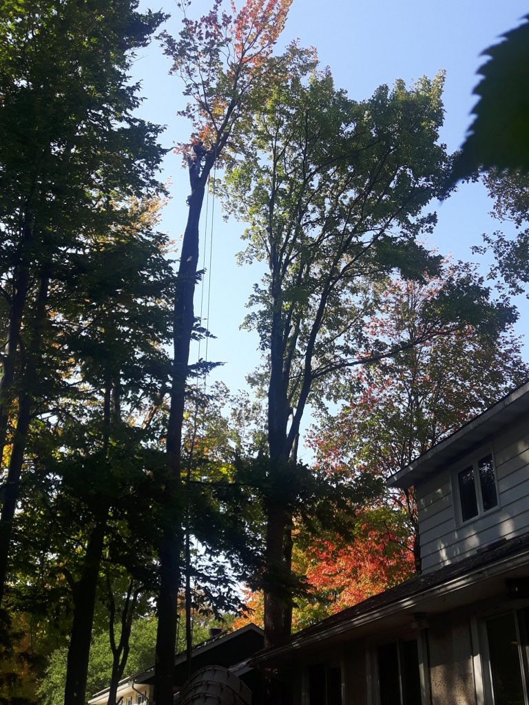 Red Maple Removals Serene Tree Service